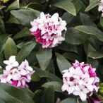 花木 庭木の苗/沈丁花(ジンチョウゲ):赤花  3.5号ポット