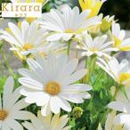 草花の苗 オステオスペルマム キララKiraraホワイト3.5号ポット