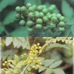 花木 庭木の苗/山椒(サンショウ)2種セット(朝倉とブドウ山椒)4〜5号ポット
