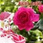 バラの苗/ハイブリッドティー:ベルサイユのばら 王妃アントワネット新苗