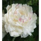 草花の苗/シャクヤク(ピオニー):氷点(ひょうてん)7号ポット