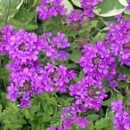 草花の苗/ハーディーバーベナ:ホムステッドパープル3.5号ポット