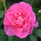 ショッピングバラ バラの苗/フレグランスローズ:アリュール7号鉢