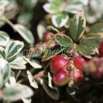 山野草の苗/コケモモ(カウベリー):斑入りこけもも2.5号ポット