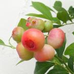 果樹の苗/ブルーベリー:フロリダローズ7号ポット