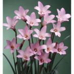毎年花が咲く球根 ハブランサス ロブスター 10球 ピンク