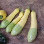 ズッキーニ:F1グリーンパンツ 野菜タネ