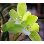 山野草の苗/和蘭:春一番2.5号ポット