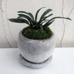観葉植物/ギフトに 万年青 (おもと):ロゼッタボウルSS植え・ソーサー付