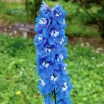 草花の苗/デルフィニウム:ブルーバード3号ポット 4株セット