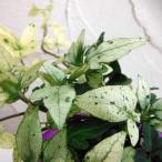 草花の苗/ヘデラ:雪の華3号ポット