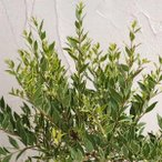 花木 庭木の苗/マートル(ギンバイカ・銀梅花):斑入り4号ポット