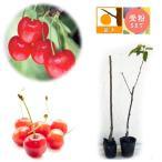 果樹の苗/サクランボ2種セット:佐藤錦・ナポレオン接木1年苗