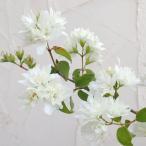 花木 庭木の苗/バイカウツギ(梅花ウツギ):ミネソタスノーフレーク5号ポット