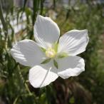 草花の苗/モミジアオイ白花3.5号ポット