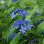 花木 庭木の苗/ヤマアジサイ:海峡(かいきょう)5号ポット