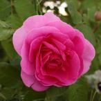バラの苗/イングリッシュローズ:ガートルード・ジェキル大苗5号角鉢植え