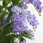 デュランタ:レペンス・ときめき(ロマンス)5号鉢植えスタンド仕立て