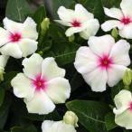 北島園芸さんの 淡い緑色の花びらの中心に赤色