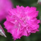 草花の苗/17年3月中旬予約 芳香四季咲き八重咲きなでしこ:エルサ3号ポット