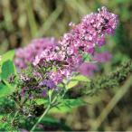 花木 庭木の苗/ブッドレア:ピンクパール3.5号ポット
