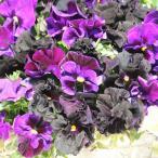 草花の苗/パンジー:ムーランフリルネロとミケランジェロミックス3.5号ポット6株セット