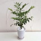 観葉植物 / 梛(ナギ)の木4号陶器鉢植え
