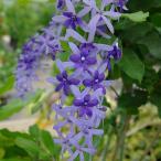 草花の苗/ペトレア:ヴォルビリス(紫)3号ポット