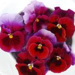 草花の苗/うえたコレクションビオラ:レインボーウェーブUSA3.5号ポット
