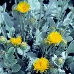 草花の苗/棚卸セール セントーレア:マジックシルバー3.5号ポット