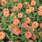 草花の苗/ジニア:プロフュージョンダブルディープサーモン3号ポット 2株セット