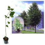 花木 庭木の苗/西洋ボダイジュ(菩提樹):ナツボダイジュ(ヨーロピアナ)5号ポット