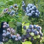 果樹の苗/送料無料 ブルーベリー:西日本向きラビットアイ系品種ミックス5号ポット10株セット