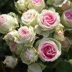 バラの苗/四季咲中輪バラ:ミミエデン大苗