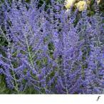 バラの苗/バラに合う宿根草の苗:ロシアンセージ:ブルースパイヤー3.5号ポット 1株