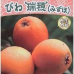 果樹の苗/ビワ:瑞穂(みずほ)4.5号ポット