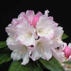 花木 庭木の苗/西洋シャクナゲ:桃色吐息3.5号ポット