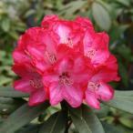 花木 庭木の苗/西洋シャクナゲ:ルージュマジック3.5号ポット