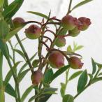 果樹の苗/ビルベリー 5号ポット