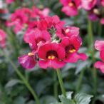 草花の苗/ネメシア:メロウチェリーソルベ3.5号ポット 2株セット