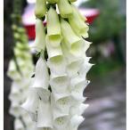 草花の苗/ジギタリス(フォックスグローブ):パープレアアルバ3号ポット 2株セット