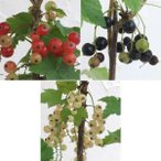花木 庭木の苗/カシスの苗 3種セット(赤房スグリ・黒房スグリ・白房スグリ)