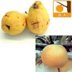 果樹の苗/ナシ(梨)2種セット:ルレクチェと豊水(ホウスイ)4〜5号ポット