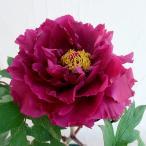 花木 庭木の苗/牡丹(ぼたん):紫雲殿(しうんでん)3年生苗6号ポット