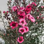 花木 庭木の苗/ギョリュウバイ:ピンク花5号鉢植え