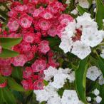 花木 庭木の苗/カルミア:紅白根巻き樹高40〜50cm