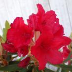花木 庭木の苗/西洋シャクナゲ:バルカン樹高60cm根巻き