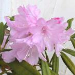 花木 庭木の苗/日本シャクナゲ:筑紫石楠花樹高50cm根巻き