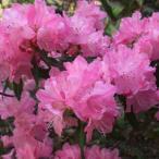 花木 庭木の苗/ハイブリッドツツジ:春一番根巻きまたはポット入り樹高70〜80cm