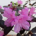 花木 庭木の苗/ツツジ:オオバエゾムラサキツツジpgm樹高50〜60cm根巻きまたはポット入り